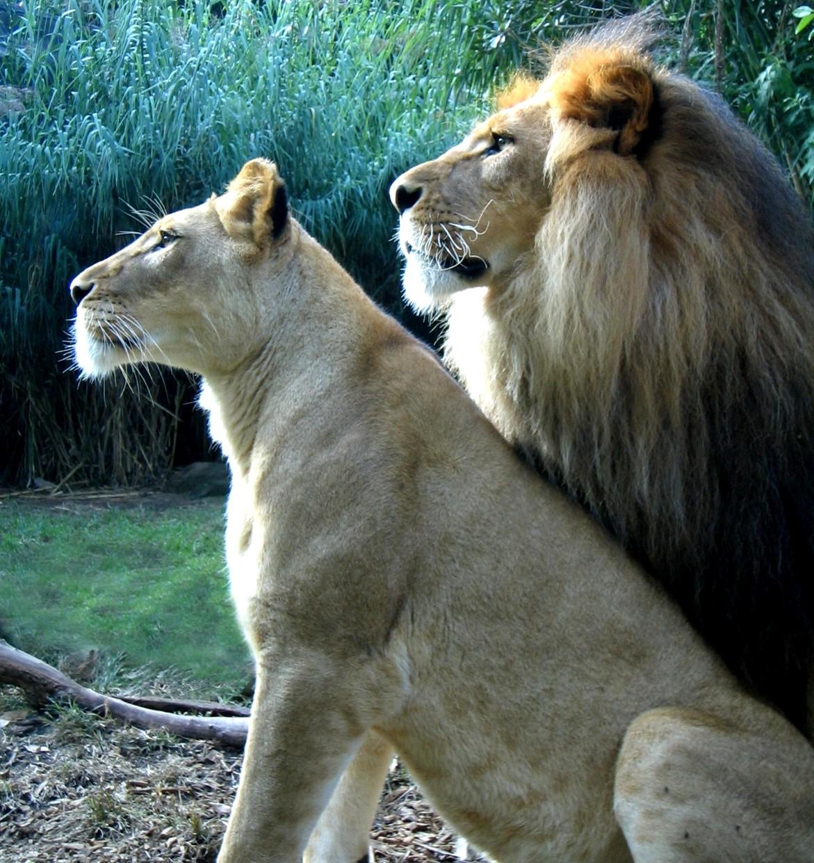 Lions in Taronga Zoo