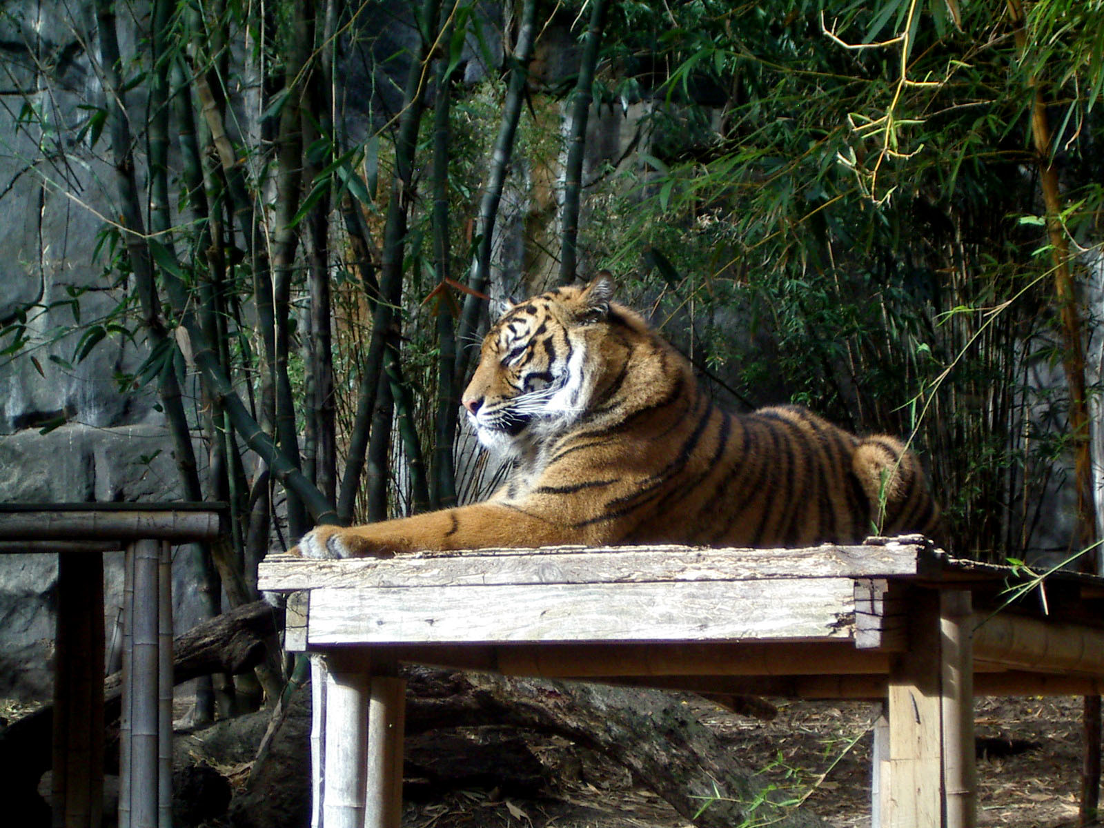Tiger in Taronga Zoo