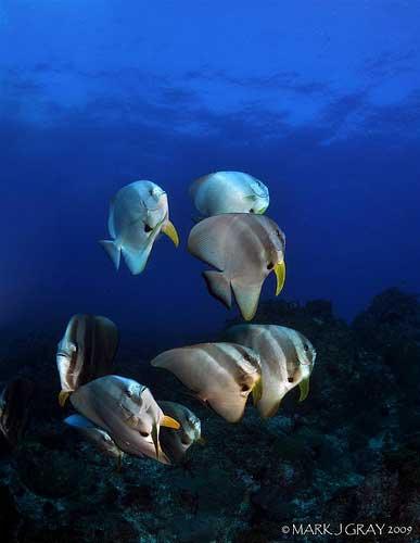 bat-fish - byron bay dive centre