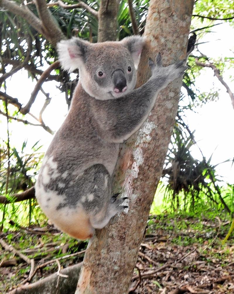 noosa-national-park-koala